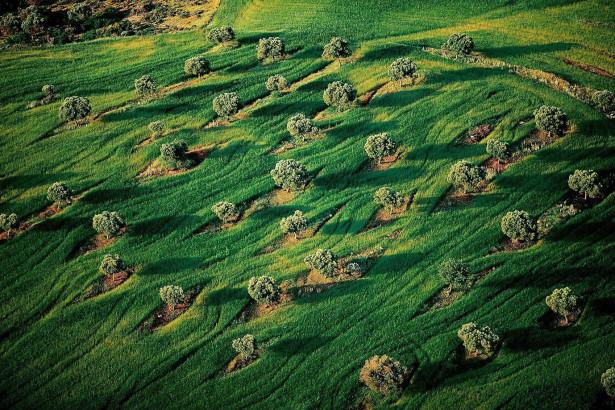 Verger parmi les blés, région de Salonique, Macédoine, Grèce